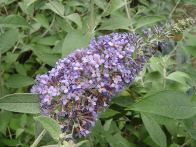 buddlejalochinch1