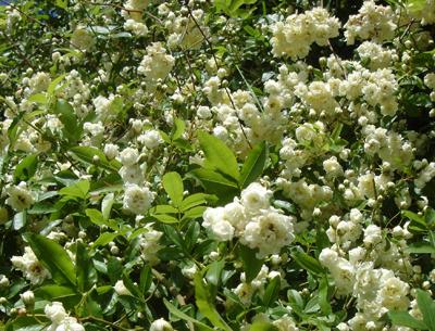 L 39 erba voglio cresce solo nel giardino della nonna maggio 2012 - Rose coltivazione in giardino ...